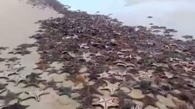 Thousands of starfish washed up on the Moreton Island beach.