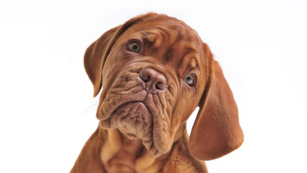 New research has shown that dogs use vocal and facial cues to understand human emotions.