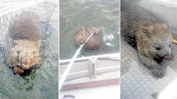 """He was definitely struggling"": The lucky wombat saved by fisherman in Tasmania."