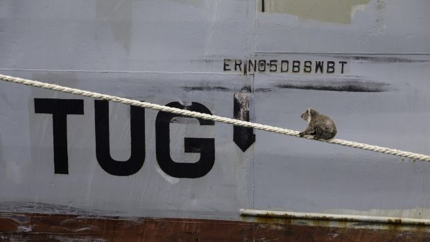 Not quite a gum tree ... the koala navigates a rope linked to the MV Portland.