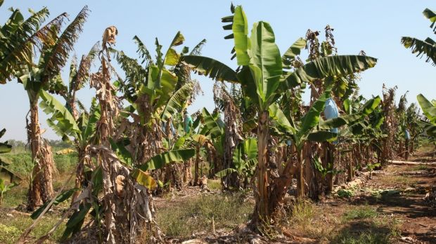 Rows of banana plants affected by Panama disease tropical race 4.