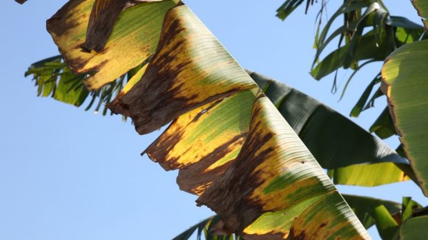 A leaf from a banana plant affected by Panama disease tropical race 4
