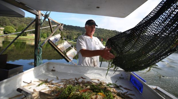 Hawkesbury River fisherman Gary Howard catching school prawns using low impact methods. Among the best rated by ...