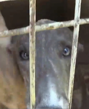 Up to 30 Australian greyhounds were being shipped to Macau every month, according to Animals Australia.