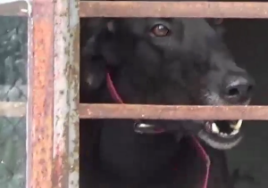 Up to 800 dogs are kept in squalid conditions in cages most of the day, ABC's 730 reported.