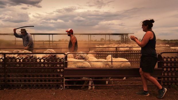 Shane Dolan 23 (centre) a graduate of the Merriman Shearing School, helps farmers round up sheep in the pens during ...