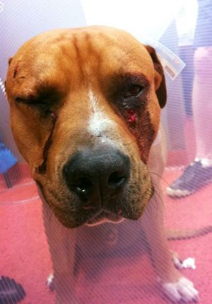 Juice, an 11-month-old American Staffordshire Terrier, was stabbed in the face with a screwdriver.
