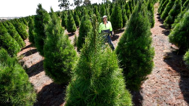 Frank Porto on his Xmas tree farm in Belgrave South, which is within the giant pine scale contaminated area.