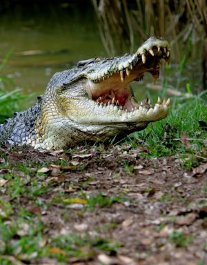 Crocodile numbers seem to have risen in Queensland's north.