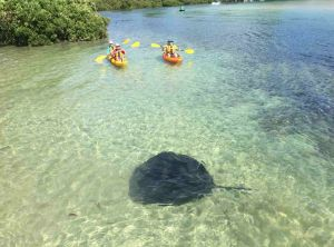 Stingrays are often spotted in the waterways of the South Coast at this time of year.