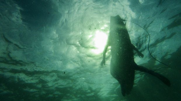 Sharks were seen at Pambula and Tuross Heads on Thursday, with up to seven sharks detected at Hyams Beach.