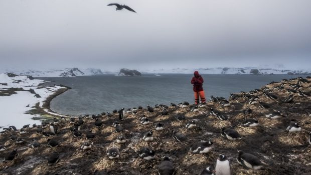 A German researcher counts the number of penguin species and pairs as part of continuing studies of bird species on King ...