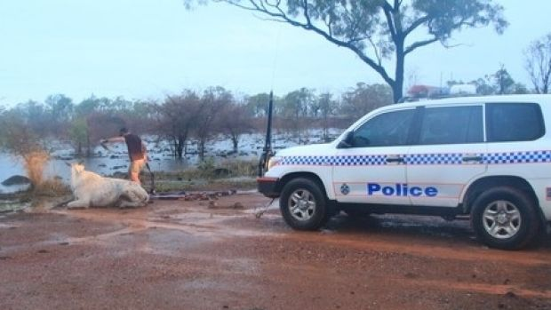 A police car helped pull the cow out of flood waters.