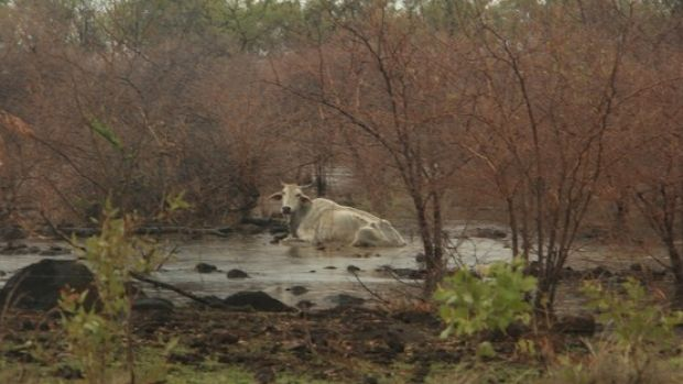 Daisy was found bogged and exhausted in flood waters.