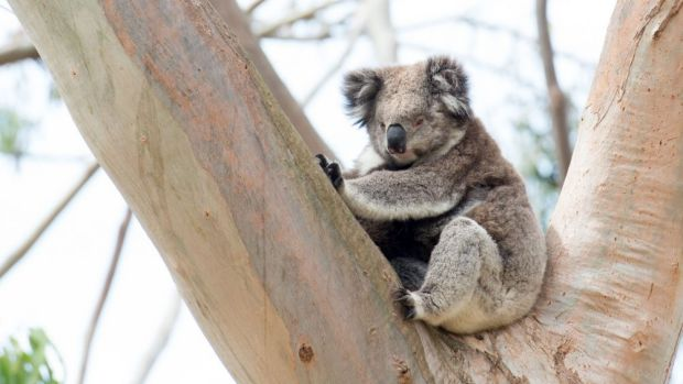 "Redland City Council introduced ""koala safe areas"" in 2007 but wants to expand them in 2016."