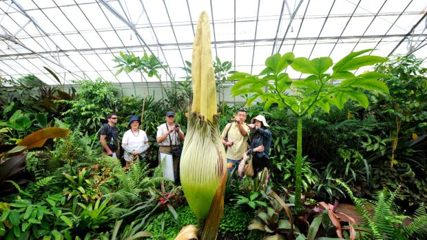 A Titan Arum, otherwise known as the corpse flower, like the one that may bloom in Cairns shortly.