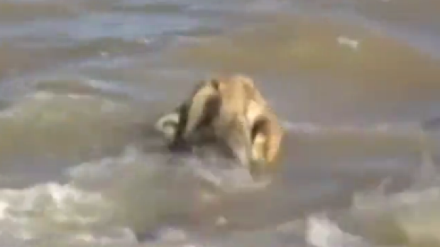The lion paddled out to sea before a rescue team from the nearby Gir National Park fished him out.