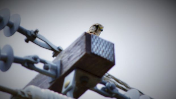 Nankeen kestrels are often spotted on power lines near the foot of Mount Taylor.