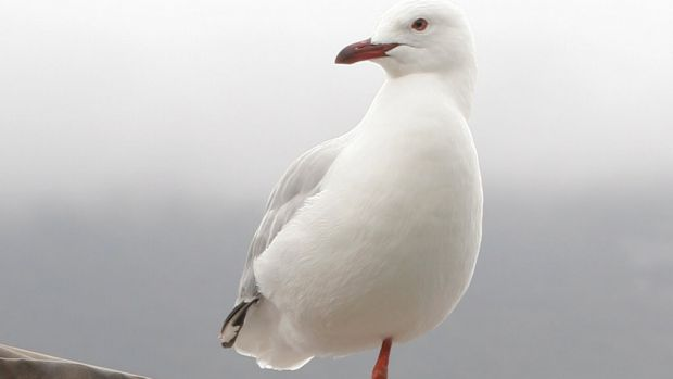 The author has his own, suitably poignant, reasons for hoping one-legged gulls can live long lives.