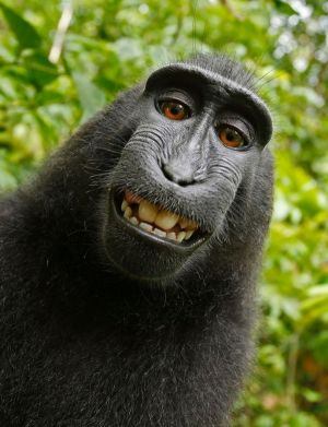 A selfie taken by monkey Naruto, who had picked up a photographer's unattended camera.