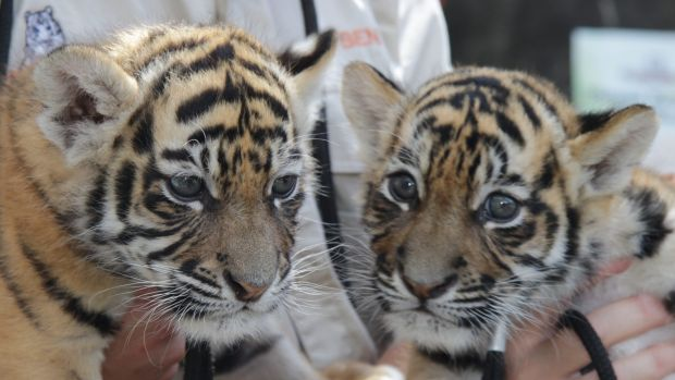 Tiger cub sisters Akasha and Adira.