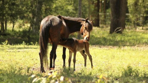 Re-homed from the Snowy Mountains, a mare named Ash with her foal.