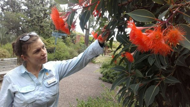 ANBG ranger Anna Newton-Walters soothes her soul with Corymbia 'Orange Dwarf'.