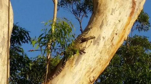 Initial investigations suggest the goanna may have been carrying the arrow in its body for several days.