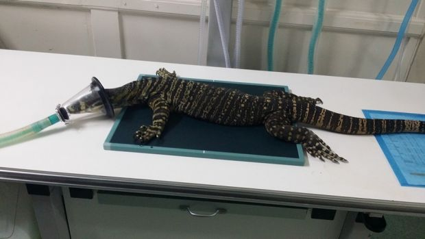 The injured goanna undergoing treatment at a specialist veterinary clinic.