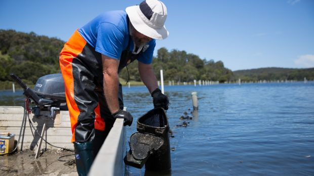 Shane Buckley cultivating oyster on his farm.