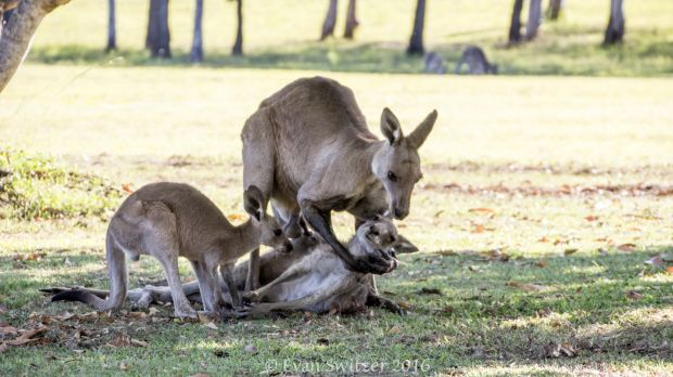 """Images of a kangaroo """"Cradling"""" the head of its dead mate are not what they appear to be, mammalogist Mark Eldridge says."""