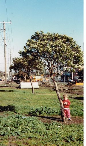 The St Georges Rd median strip in 1991 before it was planted out by VicRoads with new trees.