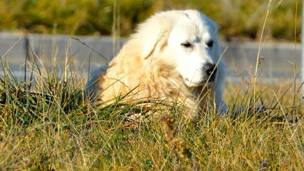Franklin the Gungahlin Maremma sheepdog in June 2015.