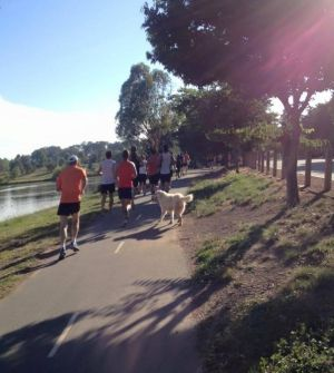 Franklin the Gungahlin Maremma sheepdog on January 9 2016 joining a group of runners in the Gungahlin area.