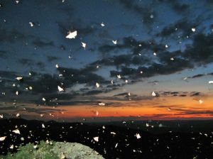 Bogong moths fill the night sky in the Brindabellas.