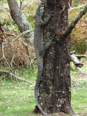 Have you seen a lace monitor bigger than this one near Tathra?