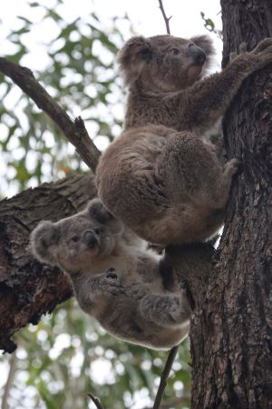 On the move: Some koalas have been found to react to the noise from the nearby festival.