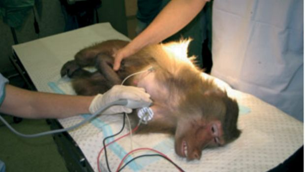 A baboon being experimented on at Royal Prince Alfred Hospital in Sydney.