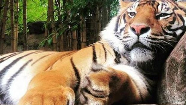 A tiger handler at Australia Zoo was taken to hospital after being wounded by one of the big cats.