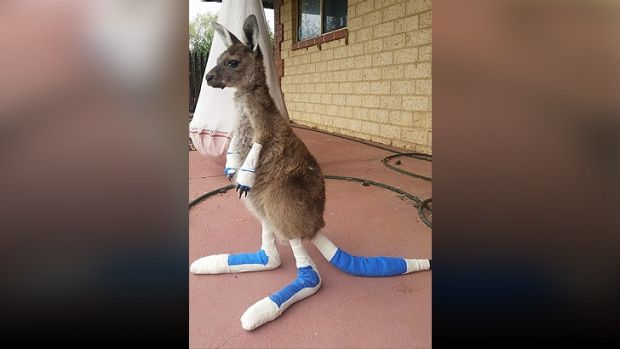 Joey being treated for burns at the Waroona Veterinary Clinic.
