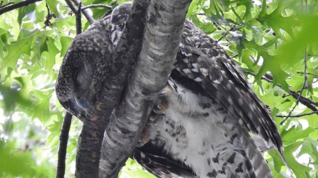 Canberra's powerful owl, laid low by the heatwave.