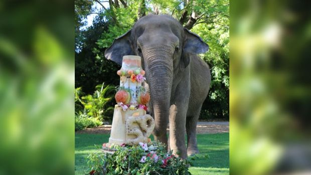 Zoo 'Perthonality' Tricia the elephant will enjoy celebrations for her 59th birthday on Sunday.