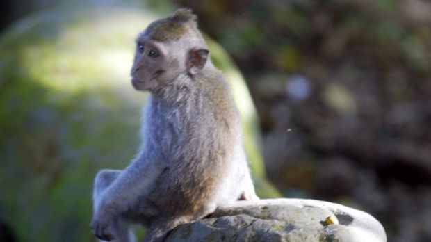 The long-tailed macaque is one species used in a study of autism that could help find therapies for the syndrome in humans.