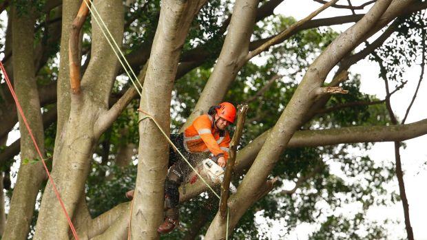 Workers begin felling the trees to allow for construction of the light rail line.