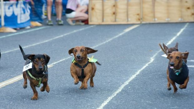 Just like the Melbourne Cup, but with dachshunds.