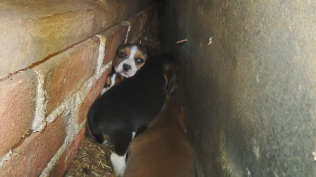 Cowering in a wall cavity: Last year, 16 neglected dogs were rescued from the farm and the owner served with notices.