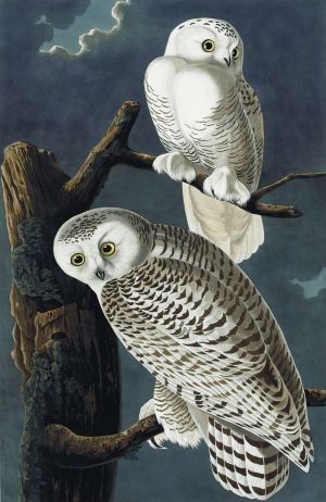 Snowy Owls from a rare first edition set of John James Audubon's The Birds of America, sold at auction in 2012 for ...