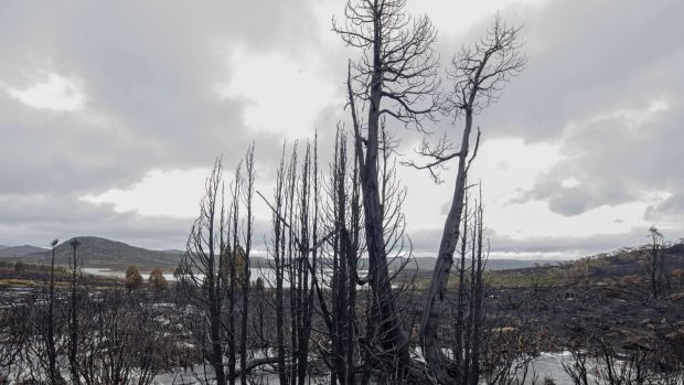 Burned pencil pines near Lake Mackenzie on the central plateau.