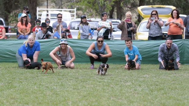 Some dogs preferred to stand by and watch rather than race their competitors at the Werriwa Wiener Dash race at the ...