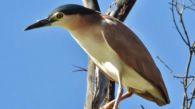 Nankeen night heron counting sleeps to World Wetlands Day.